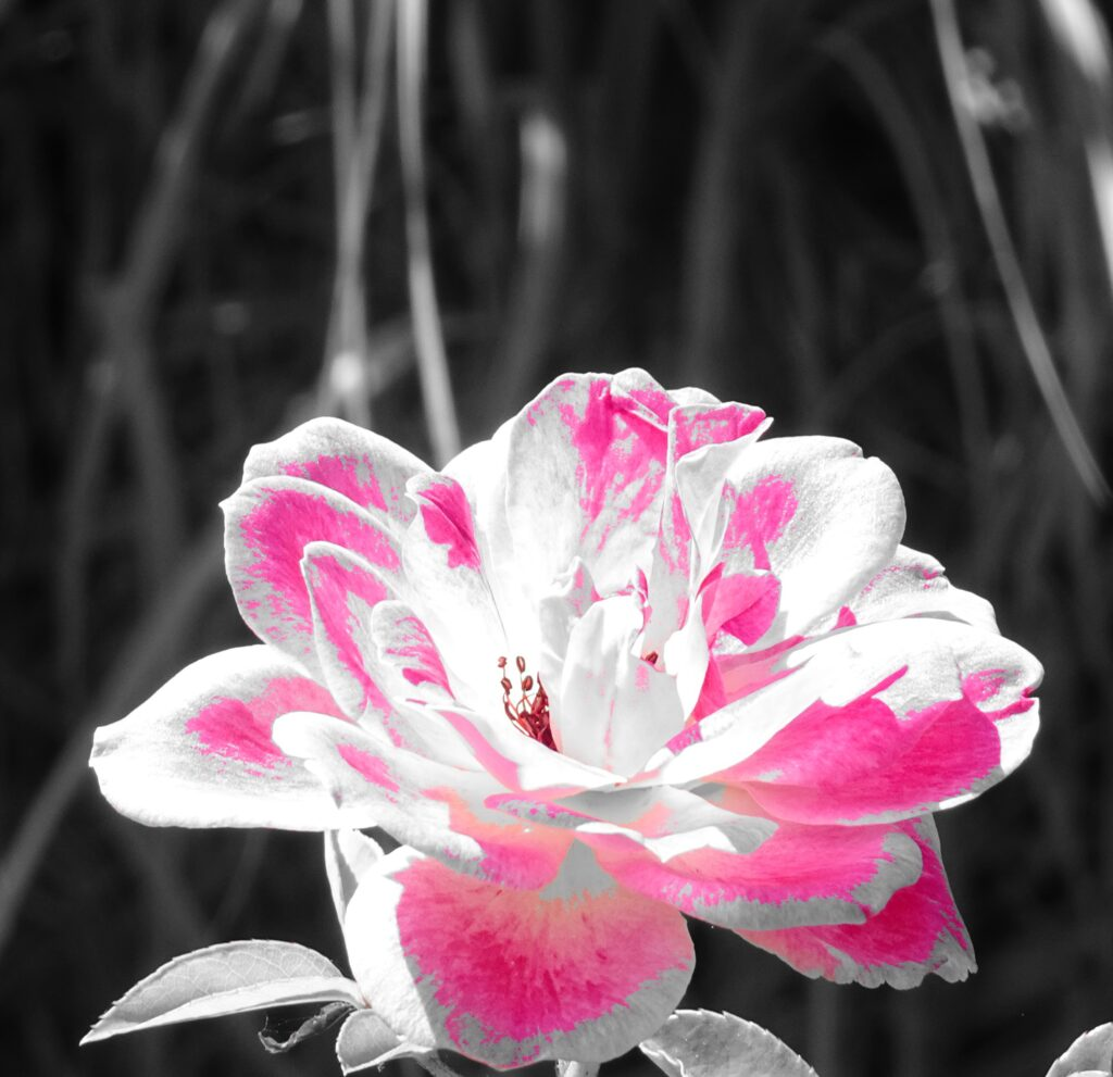 Pop Rose